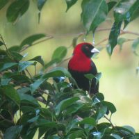 Crimson-Collared-Tanager