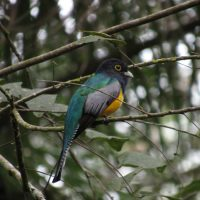 Gartered-Trogon
