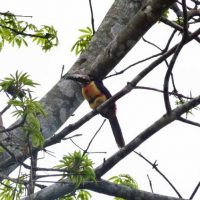 Collared_Aracari_Toucan