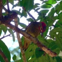 Golden_Olive_Woodpecker