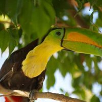 Keel_Billed_Toucan