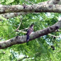 Yellow_Billed_Cuckoo