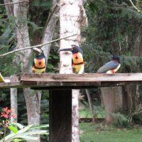 Collard-Aracari2
