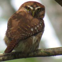 Pigmy-owl1